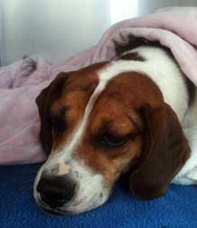 beagle found in Val-David