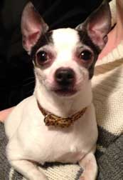 chihuahua found in Villeray