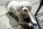 Bichon lost in Rosemont
