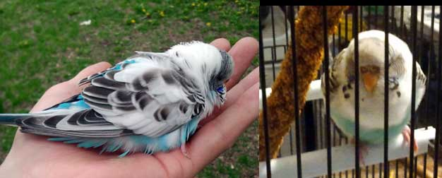 Budgie found in Parc Lafontaine