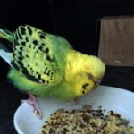budgie found in Parc Jarry