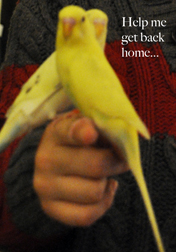 budgie lost in NDG