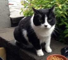 Tuxedo cat found in Chomedey