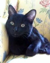 black kitten found in NDG