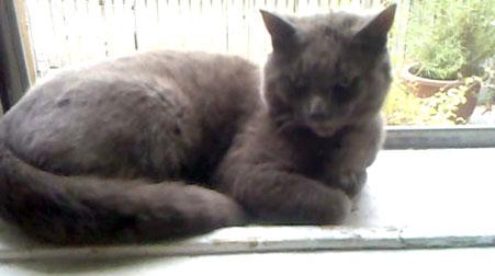 Grey cat found in Rosemont