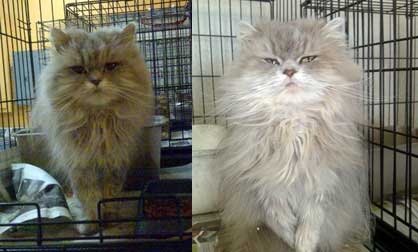 Persian cat found in Ste-Adèle