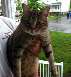 grey tabby found in Vaudreuil