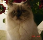 cat lost in HImalayen