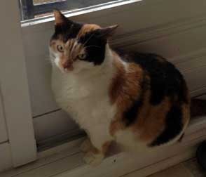 Calico cat lost in Longueuil