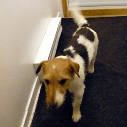 Jack Russell found in Chambly