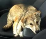 dog found in St-Valentin
