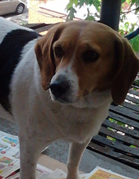 beagle found at l'Île de la Visitation