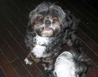 shih tzu lost in Pointe-aux-Trembles