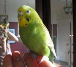 Budgie found in Ahuntsic