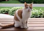 orange and white cat found in Beloeil