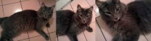 grey cat found in NDG