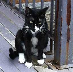 tuxedo cat found in the Plateau