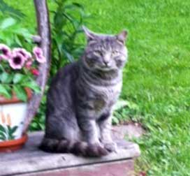 grey tabby found in Pointe Claire