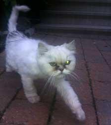 cat found in Ville-St-Laurent
