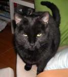 cat lost in N.D.G.
