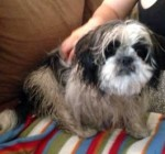 Shih Tzu found in Anjou