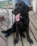 black dog found in Chateauguay