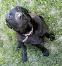 labrador found in Kahnawake