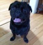 dog found in Pointe-St-Charles