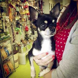 chihuahua found on the Ville Marie