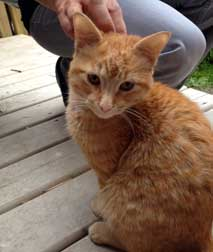 orange kitten found in Verdun