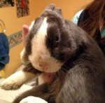 Rabbit found in St-Lazare