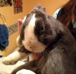 Rabbit found in St-Lazare