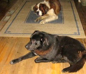 2 dogs found Lachute