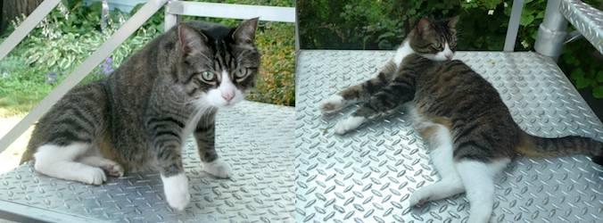 cat found in Mercier