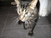 cat found in South West Montreal tab