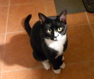 tuxedo cat found in Ville Marie