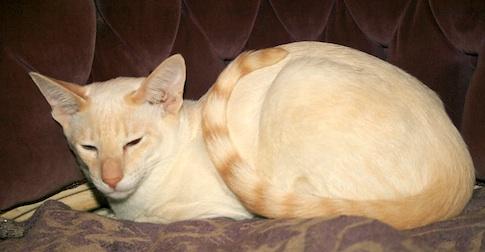 Siamese cat lost Mascouche