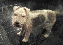fox terrier found Boucherville
