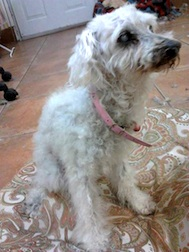 poodle found in Brossard