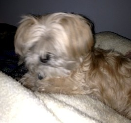 dog found in Châteauguay