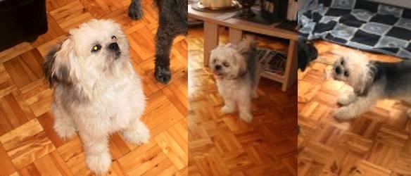 dog lost in Lanoraie