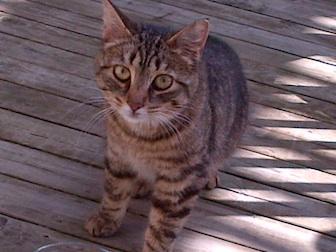 kitten found in Westmount