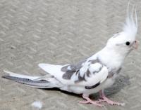 cockatiel found in Ste-Julie