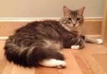 cat found in Pincourt