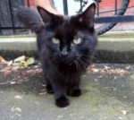 cat found in Ville Marie
