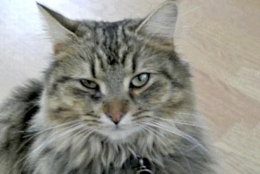 cat lost in Ste-Adèle