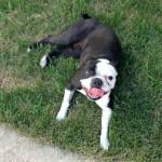 dog found in Bois-des-Filion