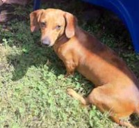 Dachshund found in St-Colomban