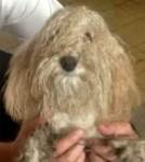 dog found in Ville St-Laurent