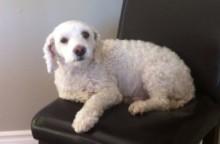dog lost in Bois des Filion